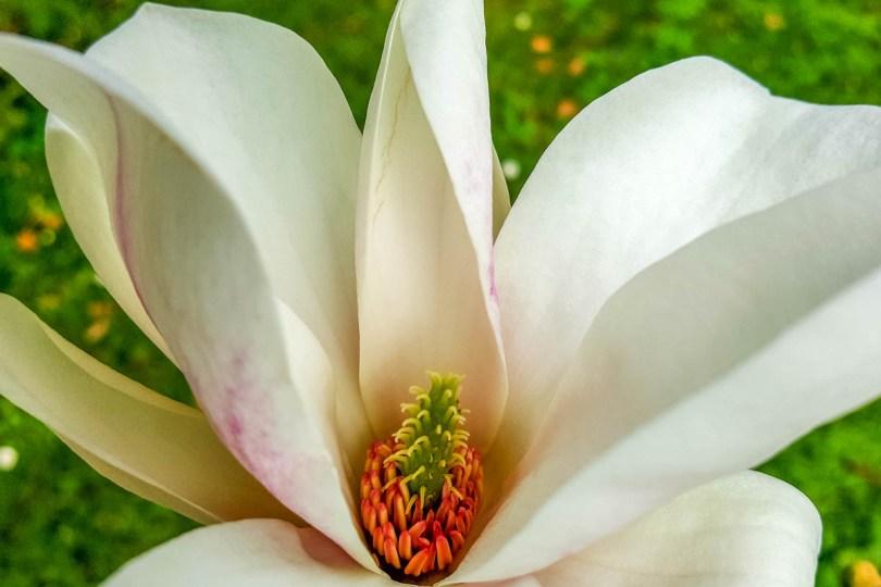 Blooming Magnolia - Padua University Botanical Garden - Padua, Veneto, Italy - www.rossiwrites.com