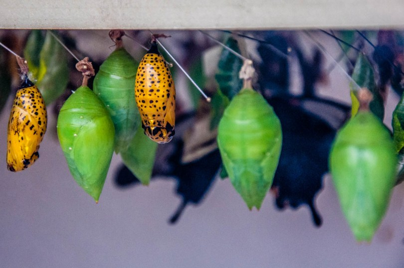 Chrysalises - Butterfly House, Oasi Rossi - Santorso, Italy - www.rossiwrites.com