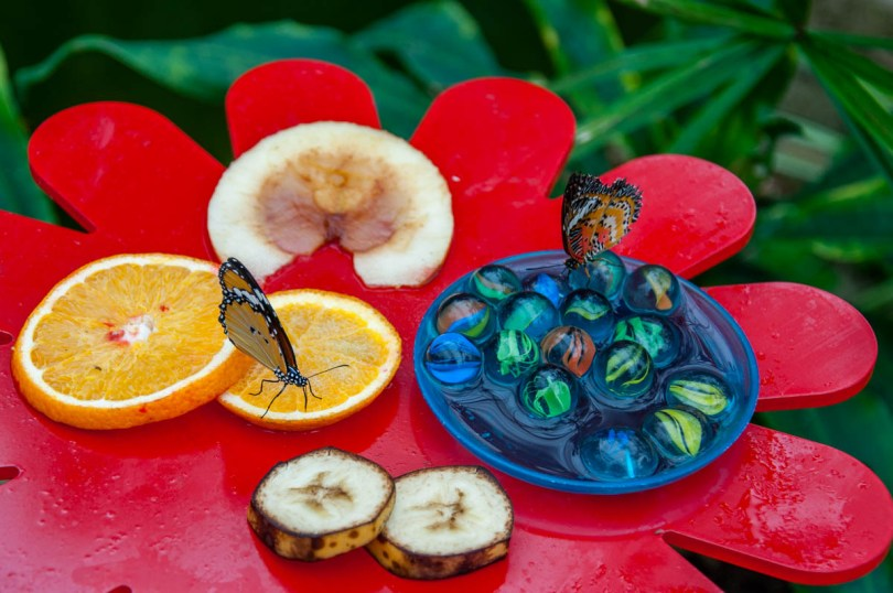 Feeding butterflies - Butterfly House - Bordano, Friuli-Venezia Giulia, Italy - www.rossiwrites.com