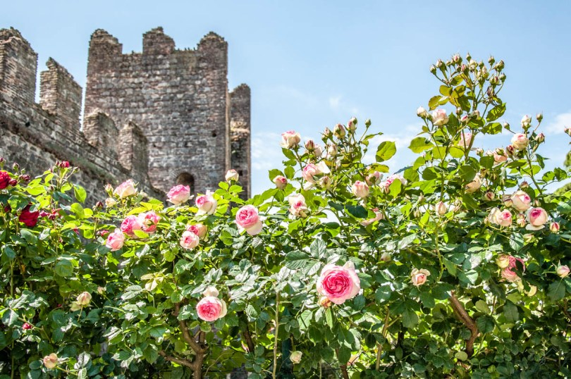 Roses in bloom in the Public Gardens - Carrara Castle - Este, Veneto, Italy - www.rossiwrites.com