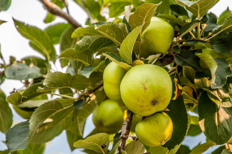 Green apples on a branch - Apple orchard - Valsugana, Trentino, Italy - rossiwrites.com