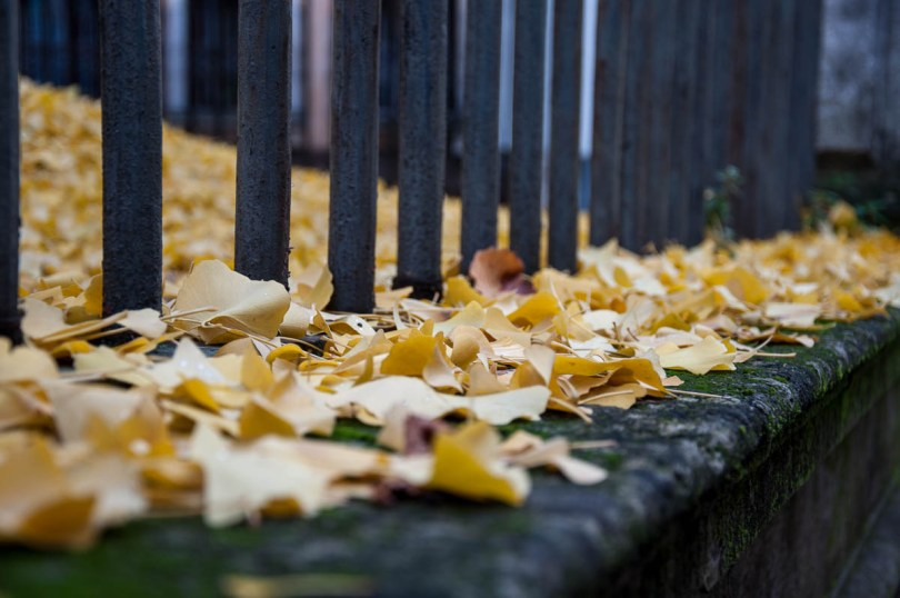 Autumn foliage - Beautiful yellow leaves of the ginkgo biloba trees in the garden of the Church of Santa Corona - Vicenza, Veneto, Italy - rossiwrites.com