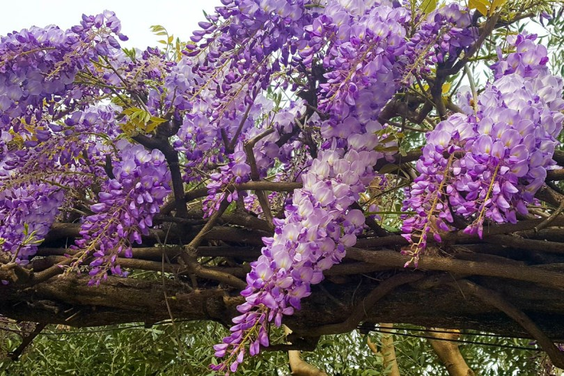Purple wisteria - Vicenza, Veneto, Italy - rossiwrites.com