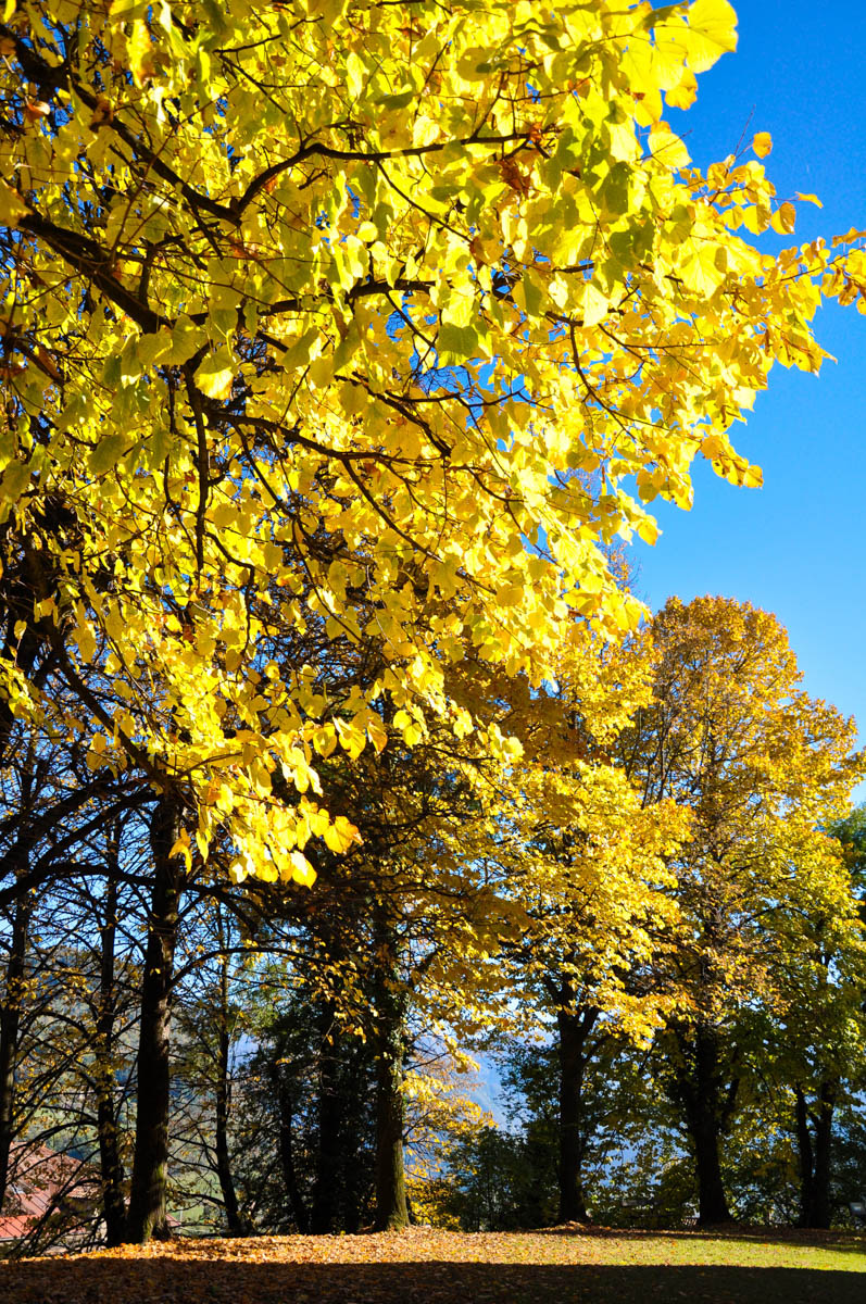 Gold foliage - Trees in autumn - Feltre, Veneto, Italy - rossiwrites.com