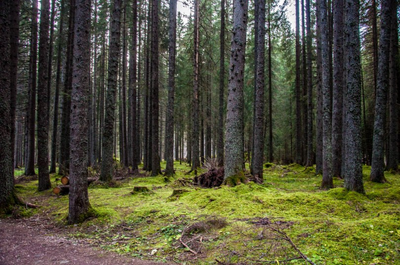 Walking in Paneveggio - The Violins' Forest - Dolomites, Trentino, Italy - rossiwrites.com
