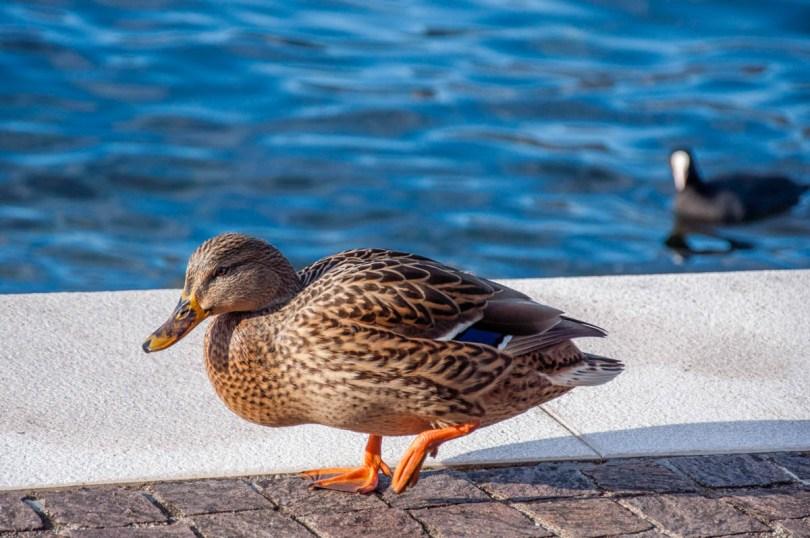 A duck - Cassone, Lake Garda, Veneto, Italy - rossiwrites.com
