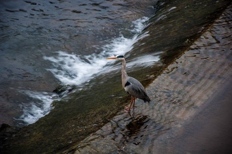 Heron in the river - Vicenza, Italy - rossiwrites.com
