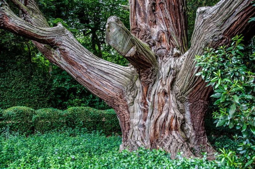 Californian Cedar - Giardino Valzansibio - Euganean Hills, Padua, Italy - rossiwrites.com