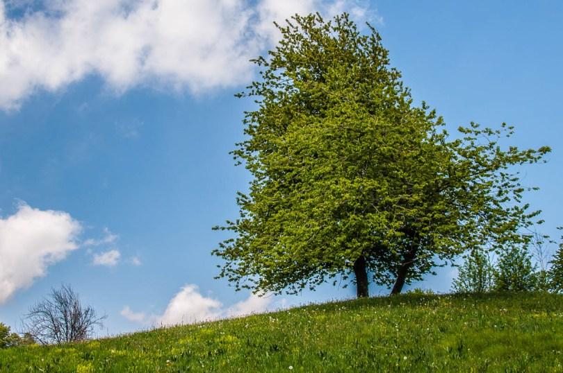 Green tree on a lush hill - Casare Asnicar - Sentiero dei Grandi Alberi - Province of Vicenza, Veneto, Italy - rossiwrites.com