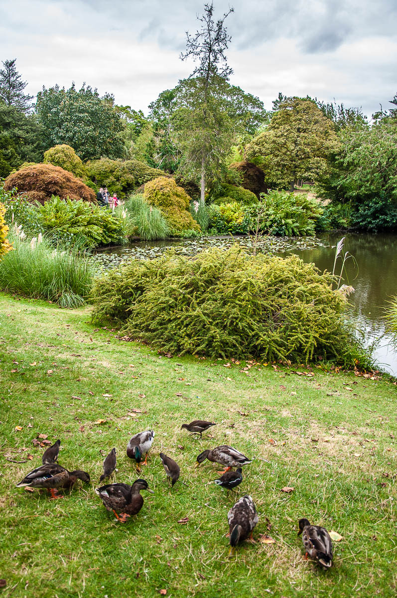 A flock of ducks near the Mansion Pond - Wakehurst, West Sussex, England, UK - rossiwrites.com