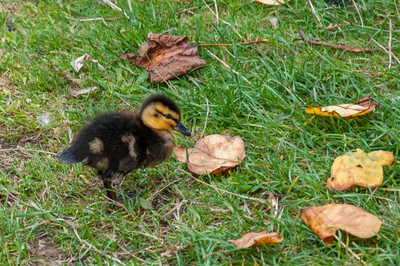 A tiny duckling near the Mansion Pond - Wakehurst, West Sussex, England, UK - rossiwrites.com