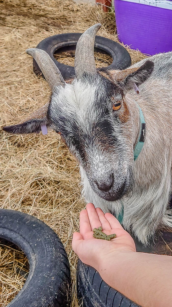 Feeding the goats - Kent Life - Maidstone, Kent, England - rossiwrites.com