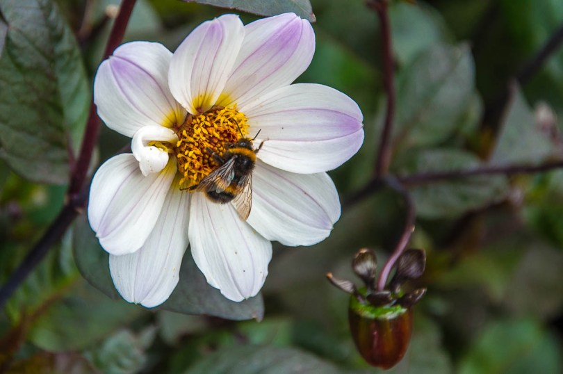 Flower with a bumblebee - Wakehurst, West Sussex, England, UK - rossiwrites.com