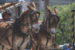 Mule Day, Columbia TN, Maury County, Ross Jaynes, RossJaynes.com, Maury County Bridle and Saddle Club, Muletown, MyColumbiaTN