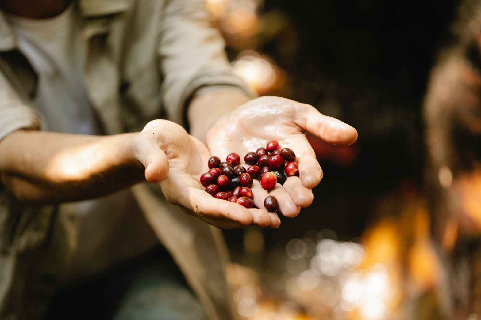 anonymous man showing coffee berries