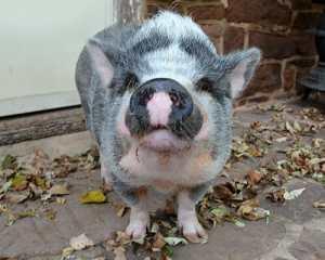 Pet Pot Bellied Pig