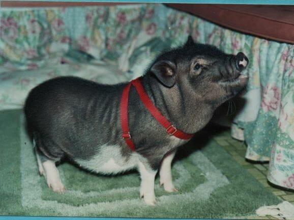 Pig harness