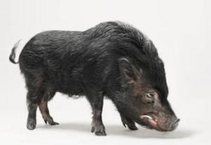 aggressive pig