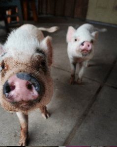 sexually mature pigs