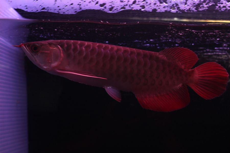 ImperialArowana Imperial Red±27  SOLD