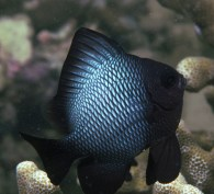 Damselfish like this are very aggressive and try to fight divers.