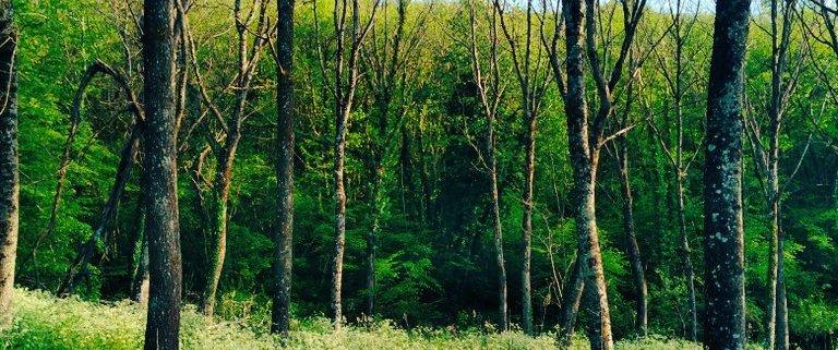 forest wood rotana ty