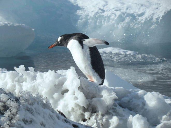 A-Gentoo-Penguin