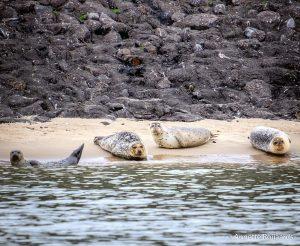 Zeehonden bij de Maasvlakte