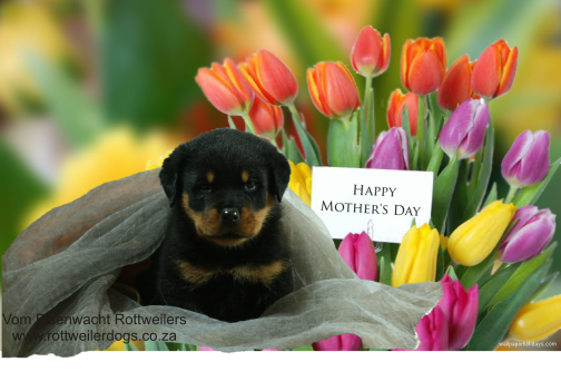 Rottweiler puppy mother's day