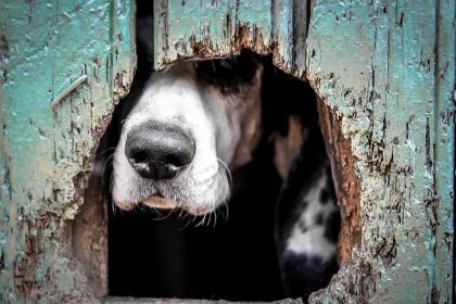 Dog looking through hole in fence