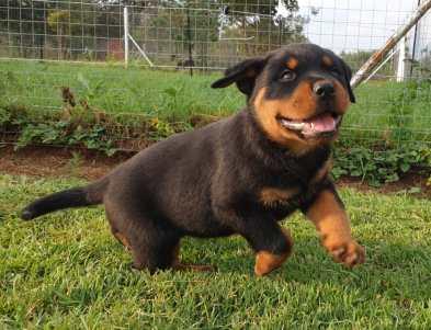 Rottweiler Puppy New 02