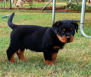 Rottweiler Puppy New 07