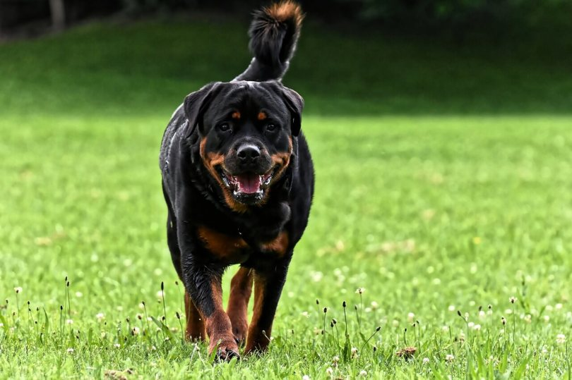 Best tricks to fix destructive chewing in Rottweilers