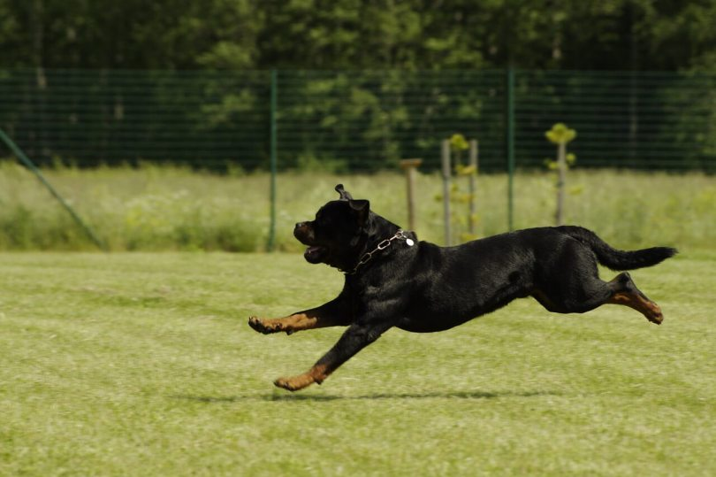 Outdoor Activities For Your Rottweiler