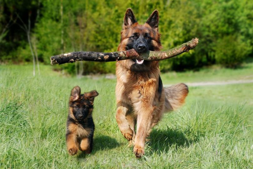 German Shepherd Working