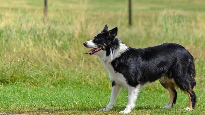 Border collie dog temperament and information