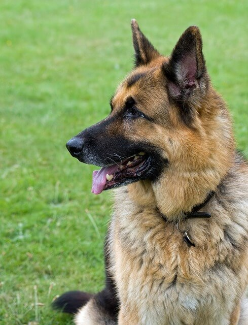 German Shepherd Temperament A Few Things You Should Know