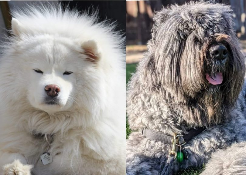 22 Small and largest fluffy dog breeds