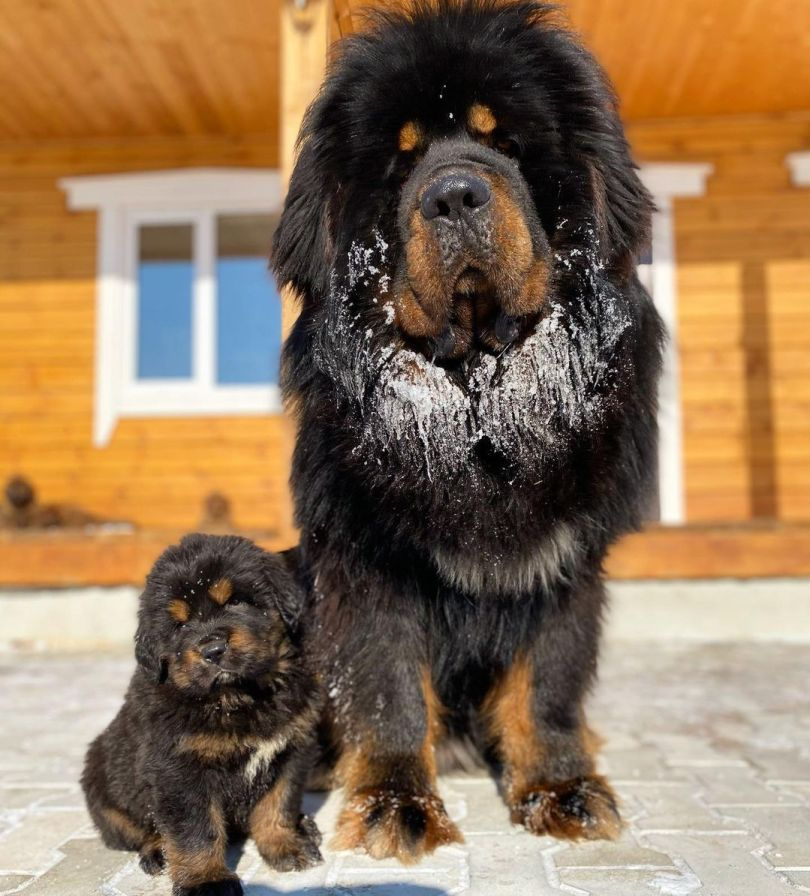 Tibetan Mastiff Dog With Puppy dog
