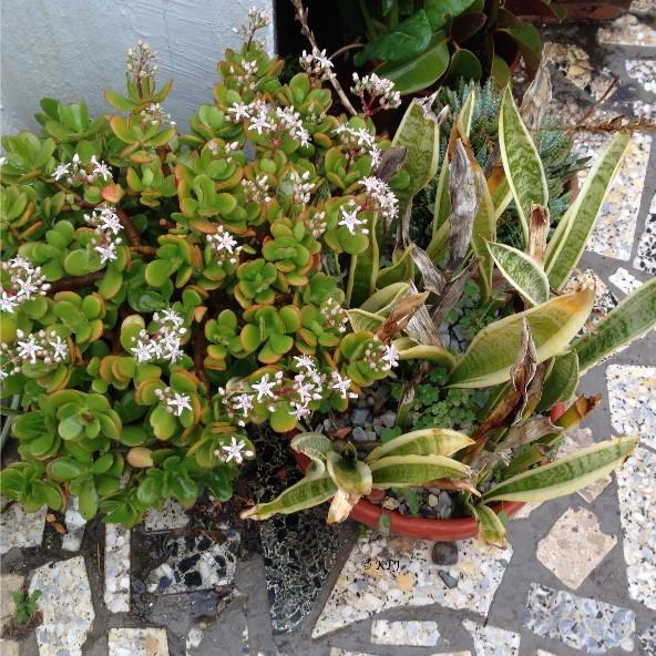 Money tree - Crassula ovata - in flower. Lucky omen?
