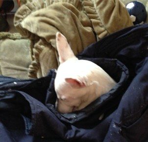Sleepy Podenco tucked up safely in someone's jacket