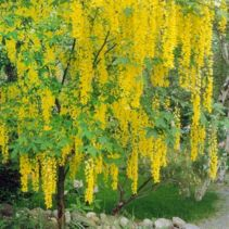 Lovely flowering tree ideas for your home yard 10