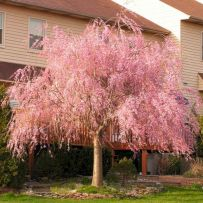 Lovely flowering tree ideas for your home yard 32