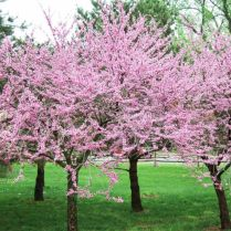 Lovely flowering tree ideas for your home yard 36