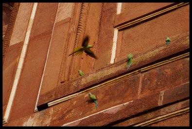 Delhi - Wild Parrots!