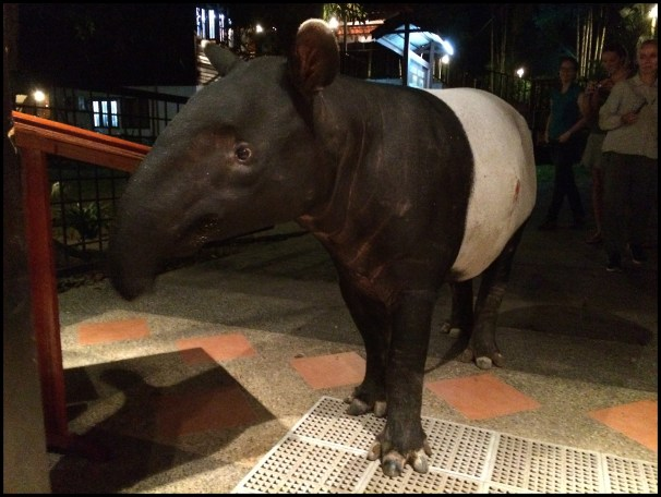 The tapir tried to eat in the restaurant!
