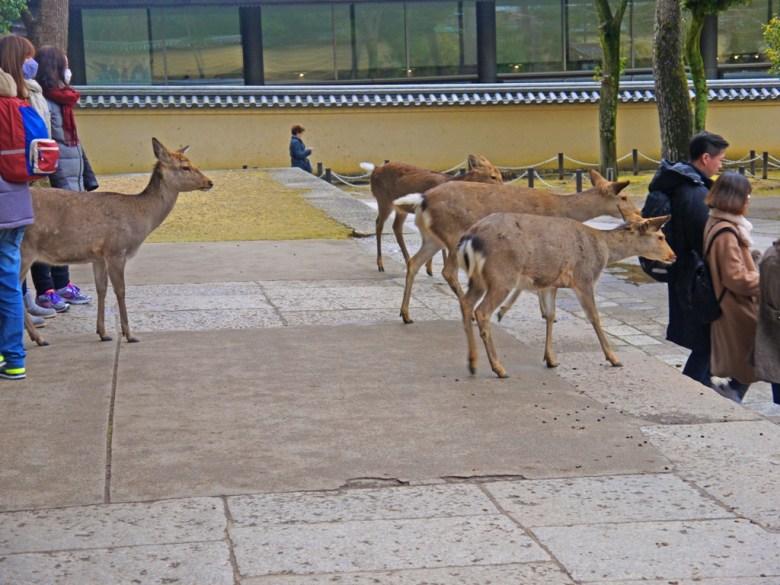 梅花鹿 | Nara | 奈良 | 日本 | 巡日旅行攝