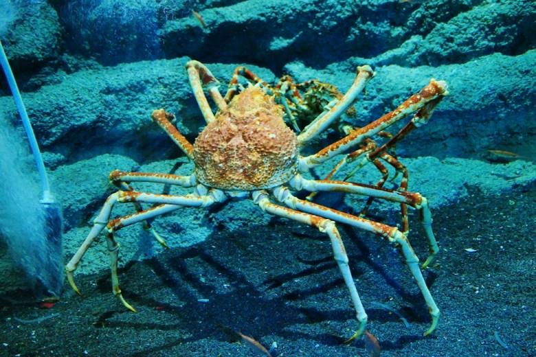 甘氏巨螯蟹 | Japanese giant crab | Xpark | Zone 6 | Taiwan | RoundtripJp