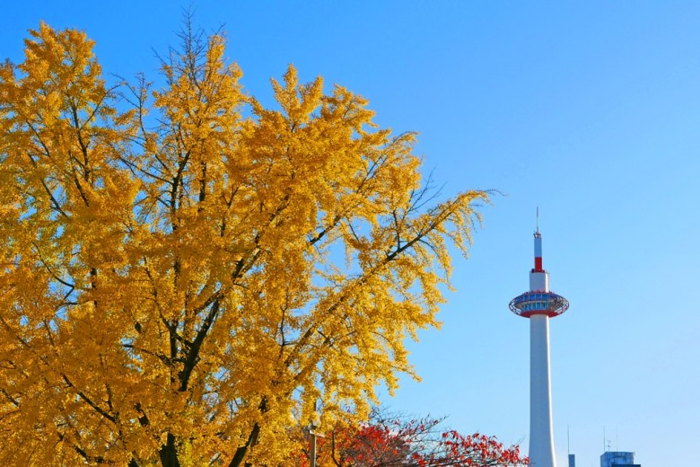 Ginkgo Biloba | きょうとタワー | 京都塔附近 | Kyoto | Kansai | Japan | RoundtripJp