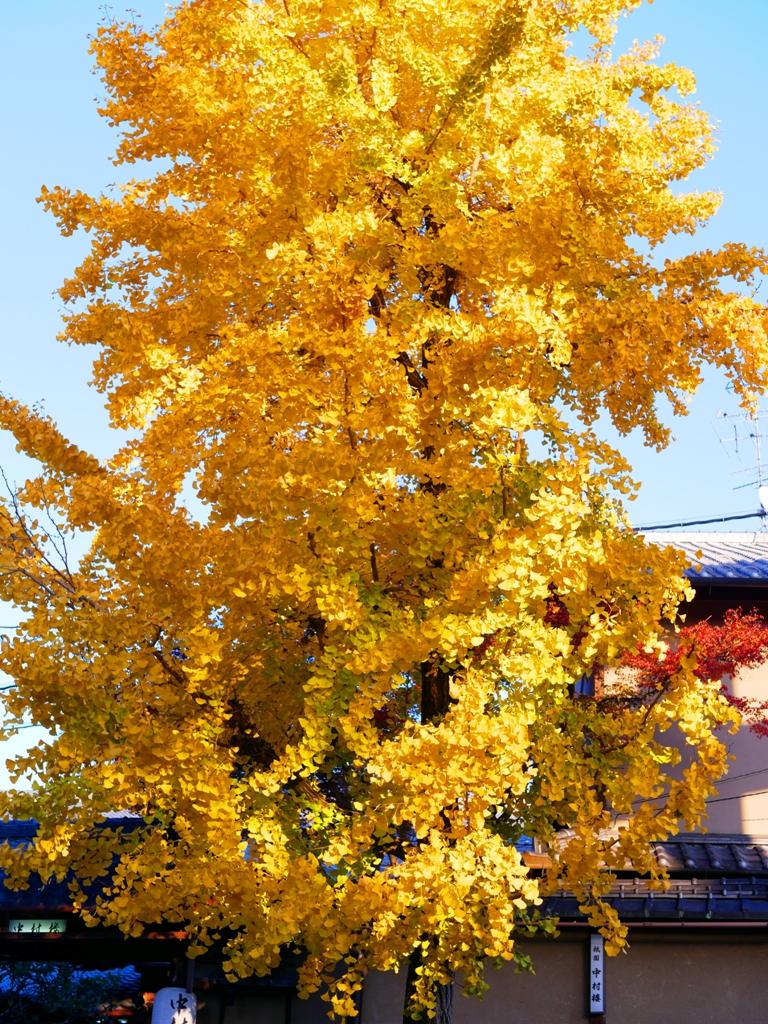 Ginkgo Biloba | やさかじんじゃ | 八坂神社 | Kyoto | Kansai | Japan | RoundtripJp